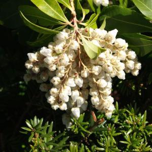 Lavendelheide Strauch Bluete weiss Pieris japonica 20