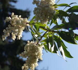 Lavendelheide Strauch Bluete weiss Pieris japonica 23