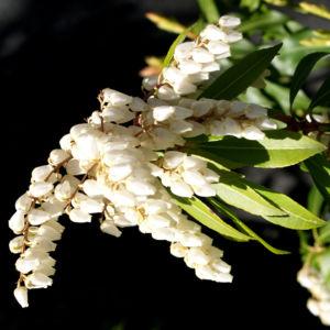 Lavendelheide Strauch Bluete weiss Pieris japonica 25