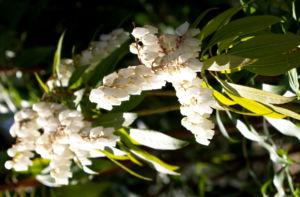 Lavendelheide Strauch Bluete weiss Pieris japonica 26