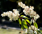 Lavendelheide Strauch Bluete weiss Pieris japonica 27