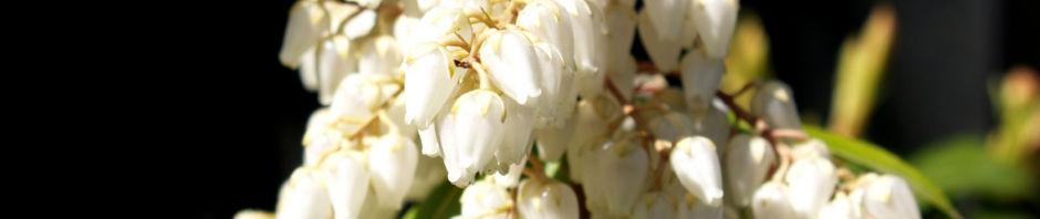 lavendelheide-strauch-bluete-weiss-pieris-japonica