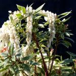 Lavendelheide Strauch Bluete weiss Pieris japonica 31
