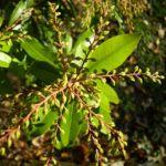 Lavendelheide gruen Pieris japonica 02