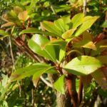 Lavendelheide gruen Pieris japonica 06