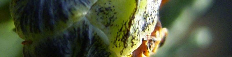 Anklicken um das ganze Bild zu sehen Lawsons Scheinzypresse Chamaecyparis lawsoniana