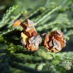 Lawsons Scheinzypresse Chamaecyparis lawsoniana 03