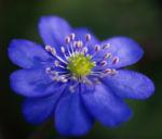 Leberbluemchen Bluete blau Hepatica nobilis 01