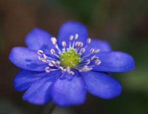 Leberbluemchen Bluete blau Hepatica nobilis 03
