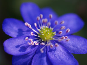Leberbluemchen Bluete blau Hepatica nobilis 10