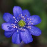 Leberbluemchen Bluete blau Hepatica nobilis 11