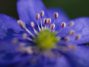 Leberbluemchen Bluete blau Hepatica nobilis 12