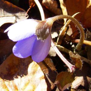 Leberbluemchen Hepatica transsilvanica 04