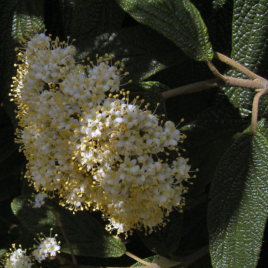 Lederblaettriger Schneeball Bluete Viburnum rhytidophyllum