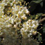 Lederblaettriger Schneeball Bluete Viburnum rhytidophyllum 03