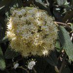 Lederblaettriger Schneeball Bluete Viburnum rhytidophyllum 04