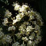 Lederblaettriger Schneeball Bluete Viburnum rhytidophyllum 05
