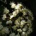 Zurück zum kompletten Bilderset Lederblättriger Schneeball Blüte - Viburnum rhytidophyllum