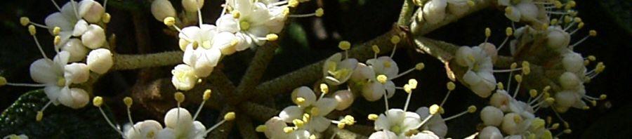 Anklicken um das ganze Bild zu sehen Lederblättriger Schneeball Blüte - Viburnum rhytidophyllum
