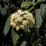 Lederblaettriger Schneeball Bluete Viburnum rhytidophyllum 06