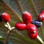 Lederblaettriger Schneeball Fruchtdolden Viburnum rhytidophyllum 01