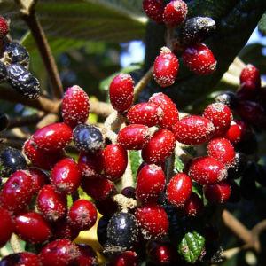 Lederblaettriger Schneeball Fruchtdolden Viburnum rhytidophyllum 02