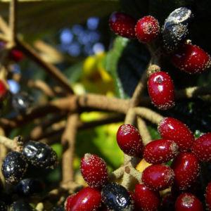 Lederblaettriger Schneeball Fruchtdolden Viburnum rhytidophyllum 03