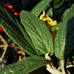 Lederblaettriger Schneeball Fruchtdolden Viburnum rhytidophyllum 04
