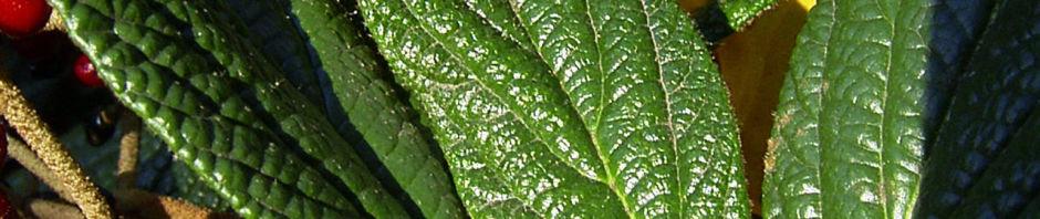 Anklicken um das ganze Bild zu sehen Lederblättriger Schneeball Fruchtdolden - Viburnum rhytidophyllum