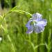 Zurück zum kompletten Bilderset Gemeiner Lein Blüte hellblau Linum usitatissimum