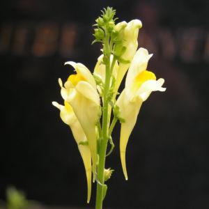 Leinkraut Frauenflachs Blute gelb hellgelb Linaria vulgaris 01