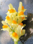 Leinkraut Frauenflachs Blute gelb hellgelb Linaria vulgaris 02