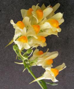 Leinkraut Frauenflachs Blute gelb hellgelb Linaria vulgaris 07