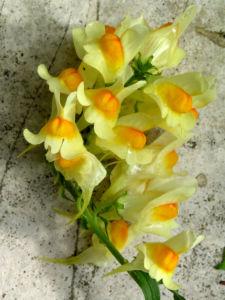 Leinkraut Frauenflachs Blute gelb hellgelb Linaria vulgaris 08