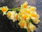 Leinkraut Frauenflachs Blute gelb hellgelb Linaria vulgaris 10