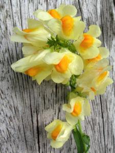 Leinkraut Frauenflachs Blute gelb hellgelb Linaria vulgaris 11