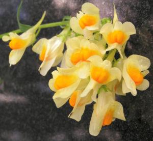 Leinkraut Frauenflachs Blute gelb hellgelb Linaria vulgaris 13
