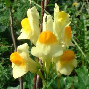 Leinkraut Linaria vulgaris 01