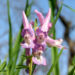 Zurück zum kompletten Bilderset Lerchensporn Blüte rose Corydalis solida