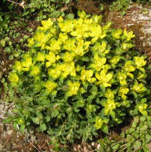 Leuchtendgelbe Wolfsmilch Scheinbluete gelb Euphorbia epithymoides 03
