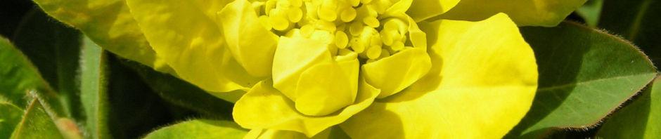 vielfarbige-wolfsmilch-scheinbluete-gelb-euphorbia-epithymoides