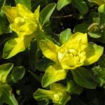 Leuchtendgelbe Wolfsmilch Scheinbluete gelb Euphorbia epithymoides 05