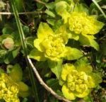 Leuchtendgelbe Wolfsmilch Scheinbluete gelb Euphorbia epithymoides 07