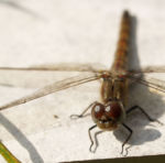 Libelle Grosser Blaupfeil Weibchen Augen Orthetrum cancellatum 01