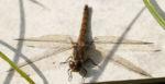 Libelle Grosser Blaupfeil Weibchen Augen Orthetrum cancellatum 02