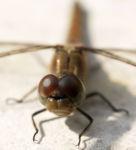 Libelle Grosser Blaupfeil Weibchen Augen Orthetrum cancellatum 03
