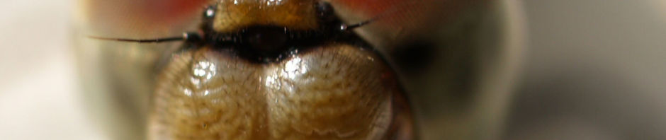 libelle-grosser-blaupfeil-weibchen-augen-orthetrum-cancellatum