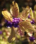 Liebesperlen Strauch Frucht violett Callicarpa japonica 01