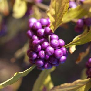 Liebesperlen Strauch Frucht violett Callicarpa japonica 02