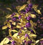 Bild: Liebesperlenstrauch Frucht violett Callicarpa japonica